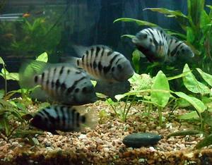 Several black-striped cichlids