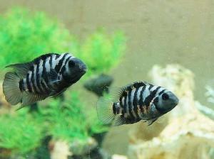 Striped aquarium fish