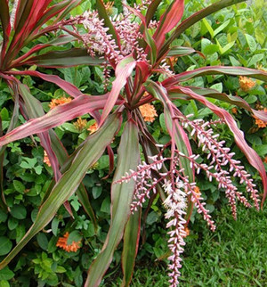 Blooming Cordilina