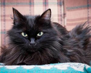 Кот черная ангора