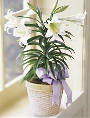 Комнатная белая лилия с фиолетовым бантиком
