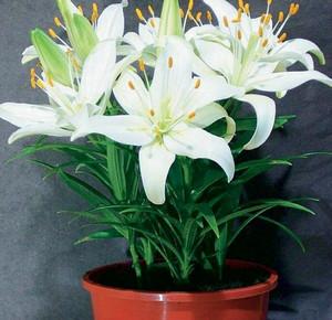 Белая лилия фото комнатная