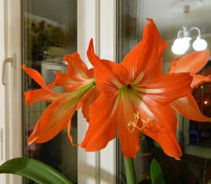 Оранжевая лилия на окне