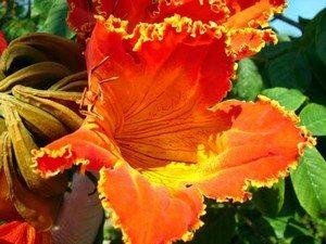 Цветок дерева спатодея
