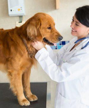 Doctor stroking a ginger dog