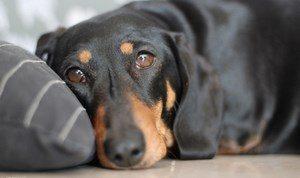 Энтерит у собак признаки