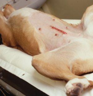 Postoperative stitches in the dog