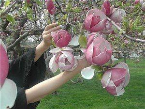Розовые цветы тюльпанового дерева