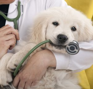 Dog in the hands of a veterinarian
