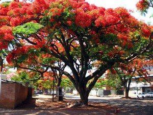 Тюльпановое дерево во время цветения
