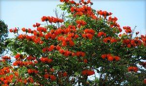 Ветки тюльпанового дерева с цветами
