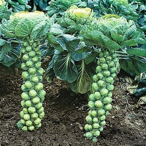 Brussels sprouts in the garden