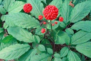 Ginseng grows on the street