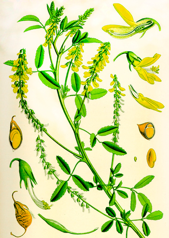 Melilotus officinalis, which helps