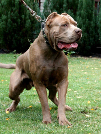 Bandog - photos of fighting breeds