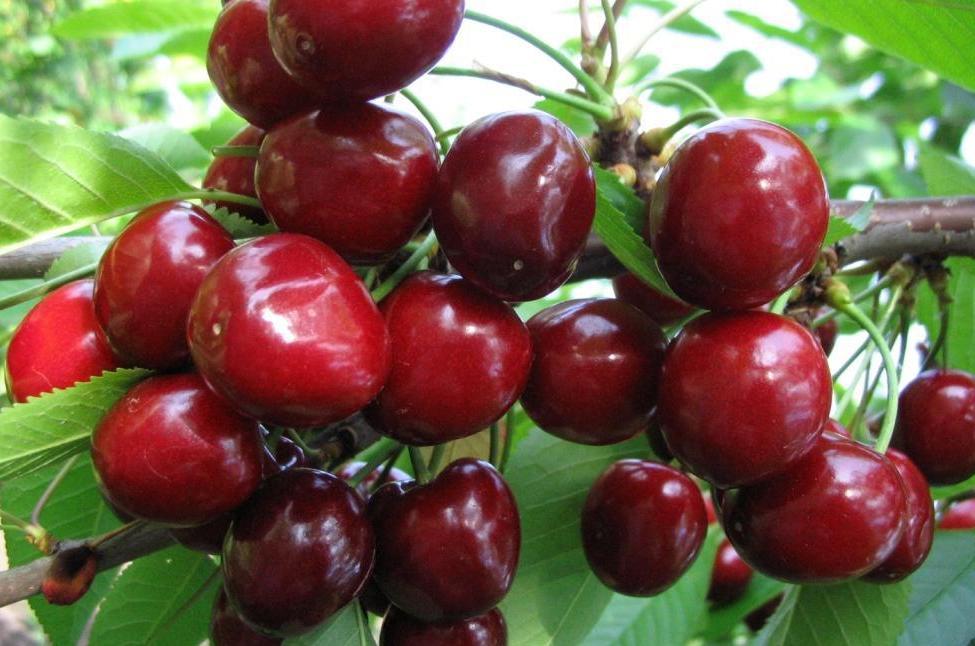 Самоплодная вишня что это. Самоплодные вишни: достоинства и недостатки, сорта для регионов с разным климатом